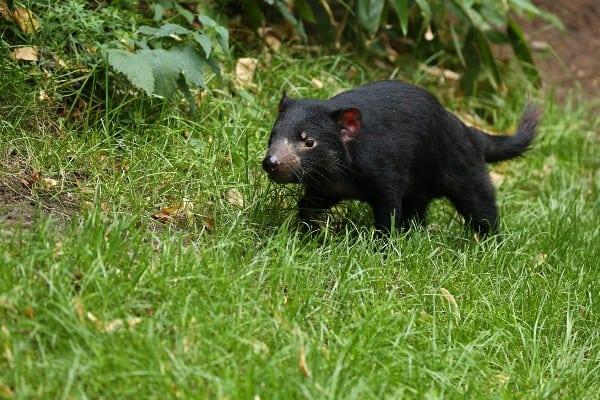 habitat demonio de tasmania